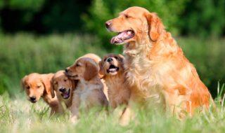 Корм «Bisko» для беременных и кормящих собак